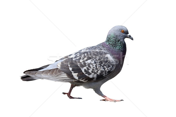 isolated walking pigeon Stock photo © taviphoto