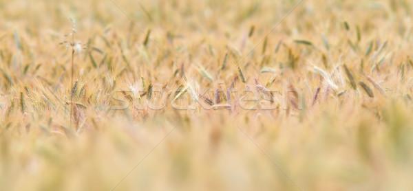 Arany búzamező közelkép közelkép sekély étel Stock fotó © taviphoto