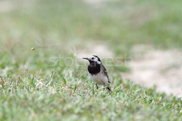 motacilla alba on ground Stock photo © taviphoto