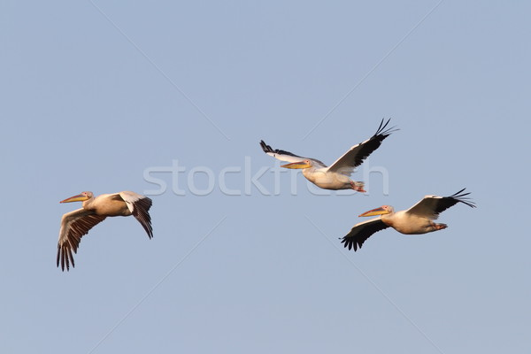 great pelicans flying in formation Stock photo © taviphoto