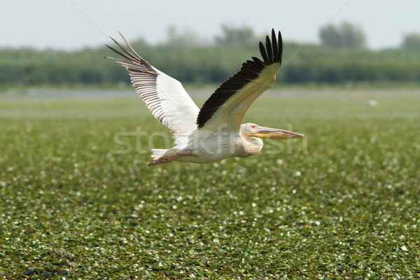 great pelican flying over marsh Stock photo © taviphoto