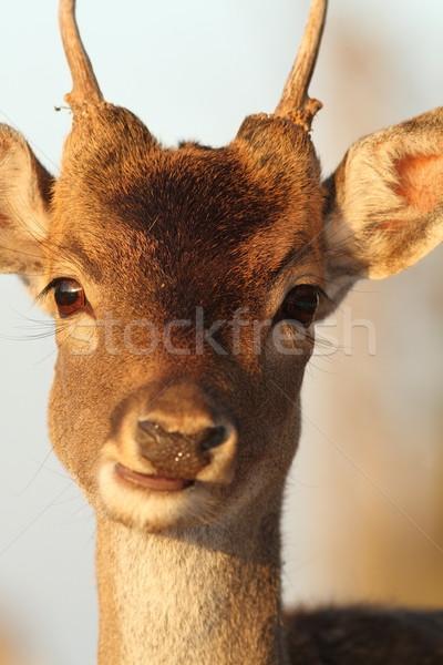 Portré fiatal szarvas dolcsi természet farm Stock fotó © taviphoto