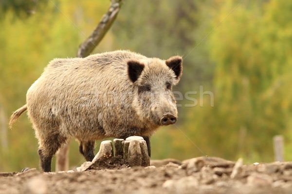 wild hog near stump Stock photo © taviphoto
