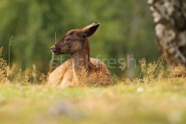 dama calf resting Stock photo © taviphoto