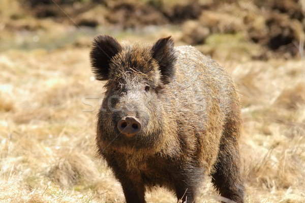 wild boar looking towards the camera Stock photo © taviphoto
