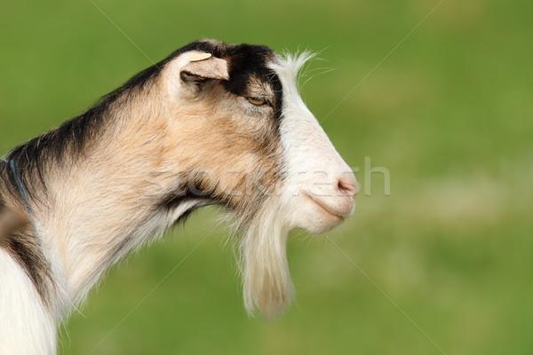 Vicces szakállas kecske zöld ki fókusz Stock fotó © taviphoto