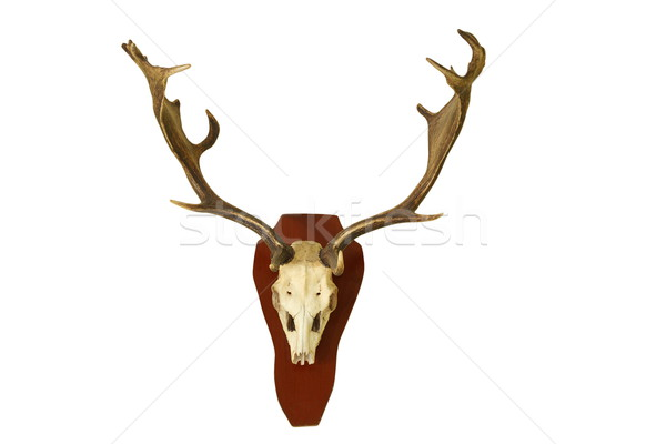 fallow deer hunting trophy isolated on white Stock photo © taviphoto