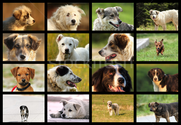 images with romanian dogs from sheep farms Stock photo © taviphoto