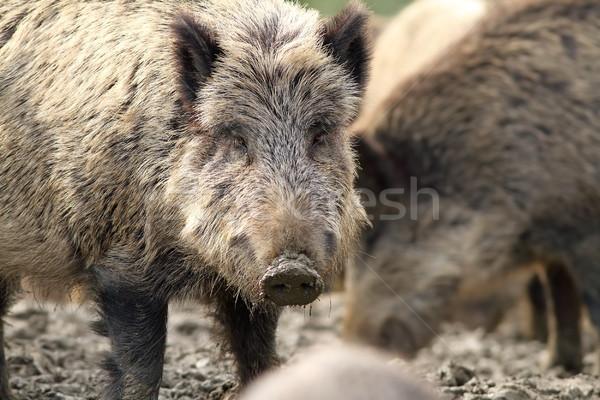 Retrato curioso cerdo forestales naturaleza Foto stock © taviphoto