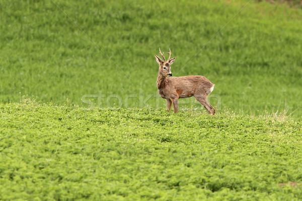 roe deer buck grazing Stock photo © taviphoto