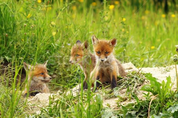 Fox tre cute rosso natura arancione Foto d'archivio © taviphoto