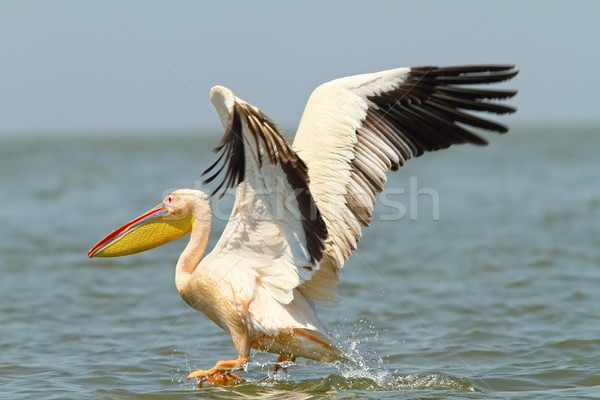 great pelican taking flight form water surface Stock photo © taviphoto