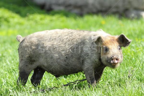 Jóvenes sucia cerdo hierba verde granja alimentos Foto stock © taviphoto