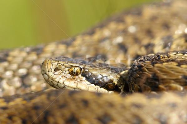 portrait of rarest european snake Stock photo © taviphoto