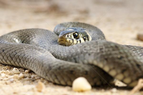 close up of grass snake Stock photo © taviphoto