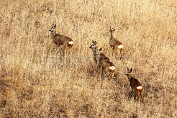 roe deers in faded grass Stock photo © taviphoto