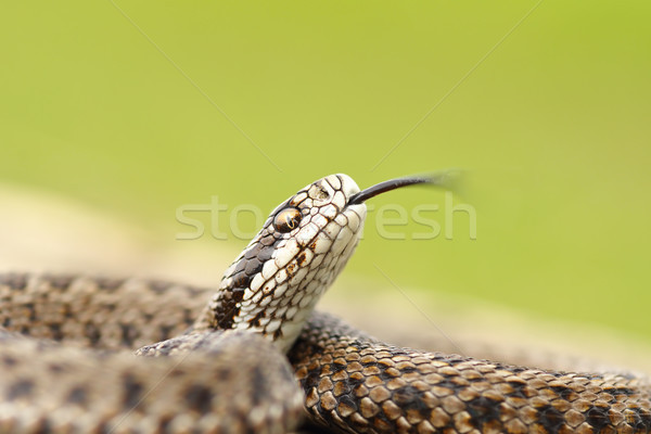 meadow adder macro image Stock photo © taviphoto