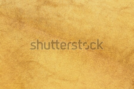 african lion fur Stock photo © taviphoto