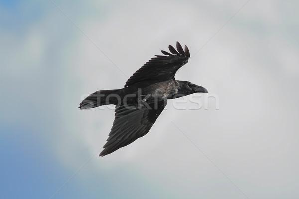 Zwarte raaf vliegen blauwe hemel hemel natuur Stockfoto © taviphoto