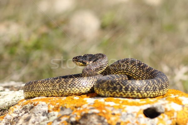Serpent naturelles habitat seuls animaux Photo stock © taviphoto