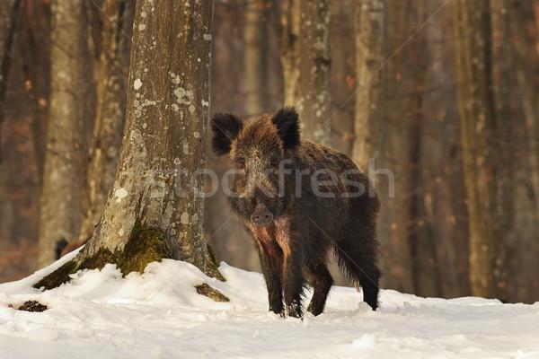 Curioso verraco bosques jóvenes invierno Foto stock © taviphoto