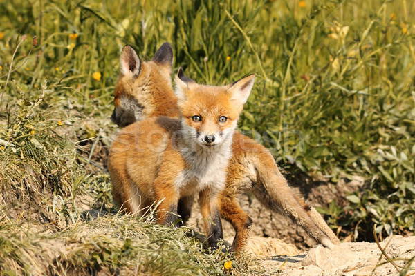 tiny european red fox cub Stock photo © taviphoto