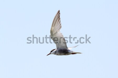 juvenile common tern  flying over the sky Stock photo © taviphoto
