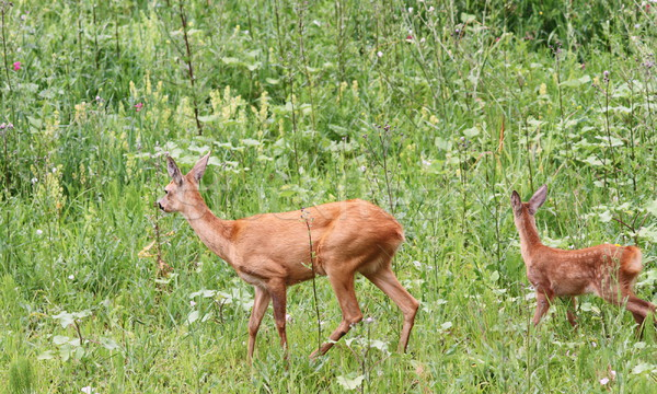 capreolus doe and calf Stock photo © taviphoto