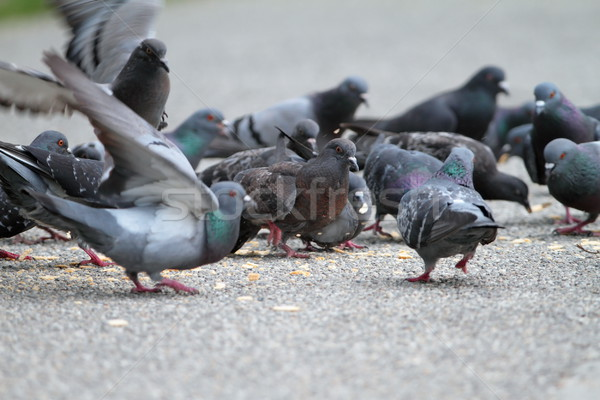 hungry pigeons on park alley Stock photo © taviphoto