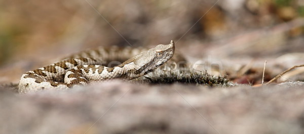 immature vipera ammodytes Stock photo © taviphoto