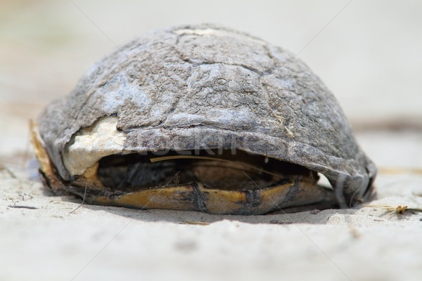 Halott teknős európai tavacska homokos tengerpart Duna Stock fotó © taviphoto