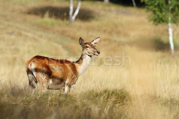 red deer doe standing in a clearing Stock photo © taviphoto