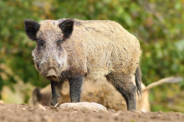 big wild boar Stock photo © taviphoto