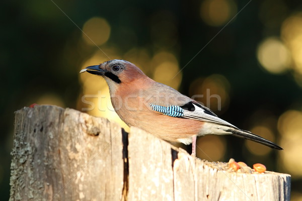 jay eating seed at birdfeeder Stock photo © taviphoto