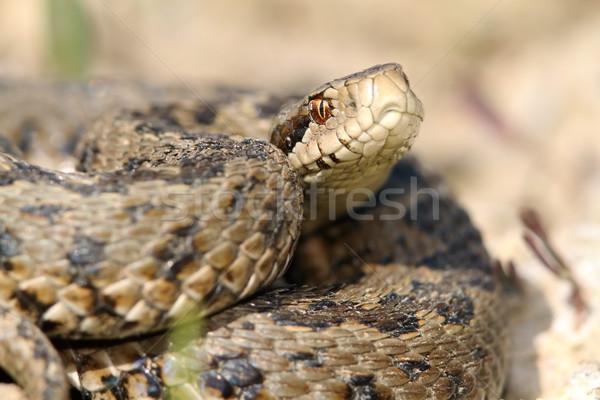 Közelkép legelő veszélyeztetett kígyó Európa természet Stock fotó © taviphoto