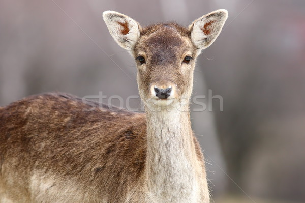 portrait of beautiful fallow deer doe Stock photo © taviphoto