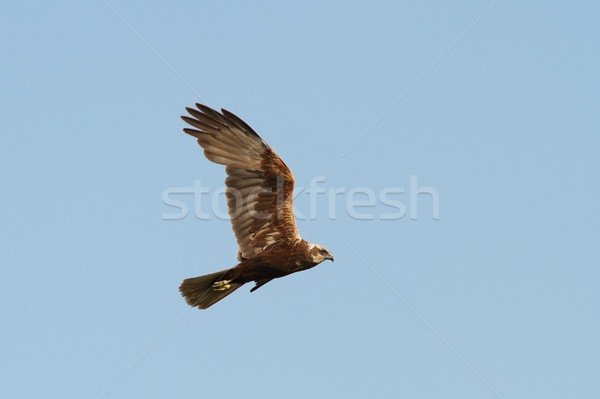Circus aeruginosus-marsh harrier in flight Stock photo © taviphoto