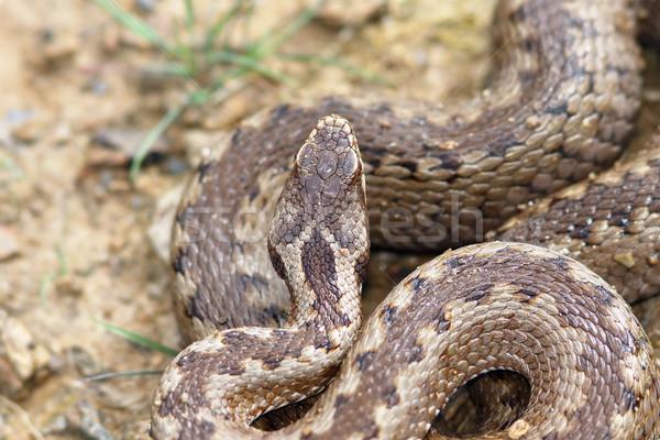 Détail tête européenne serpent danger échelles Photo stock © taviphoto
