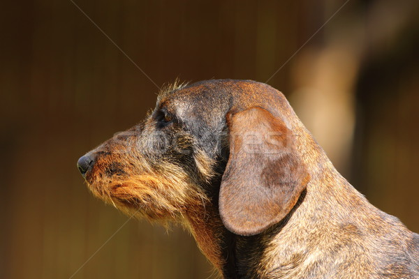 teckel portrait Stock photo © taviphoto