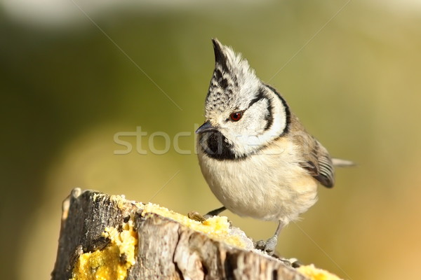 cute garden bird perched on wooden stump Stock photo © taviphoto