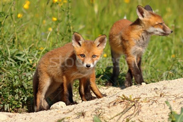 Nieuwsgierig vos welp naar camera Rood Stockfoto © taviphoto