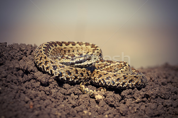 close up of male hungarian meadow adder Stock photo © taviphoto