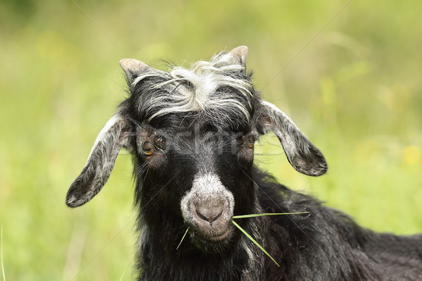 cute goat kid grazing grass Stock photo © taviphoto