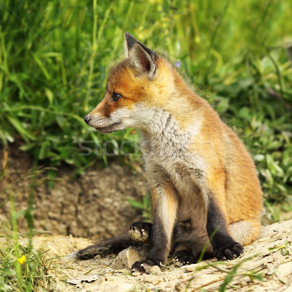молодые красный Fox ребенка собака Сток-фото © taviphoto