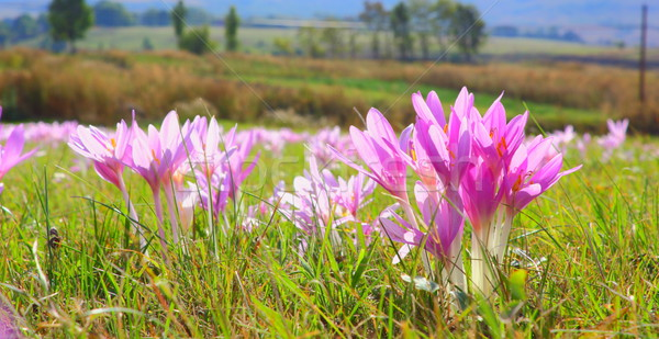 autumn crocus in the field Stock photo © taviphoto