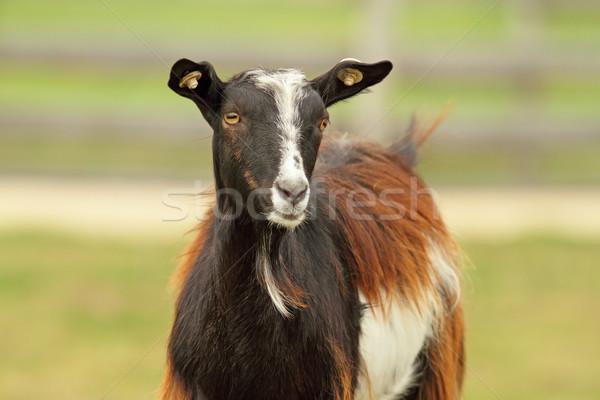 colorful goat Stock photo © taviphoto