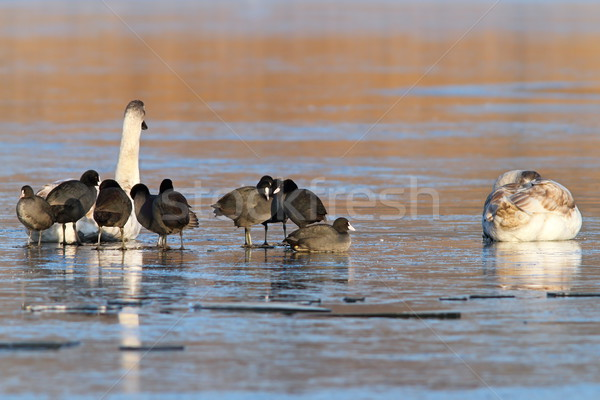 coots and swans on frozen waters Stock photo © taviphoto
