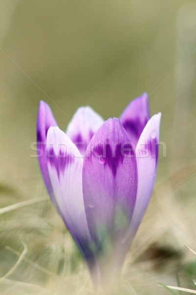 detail of spring wild saffron flower Stock photo © taviphoto