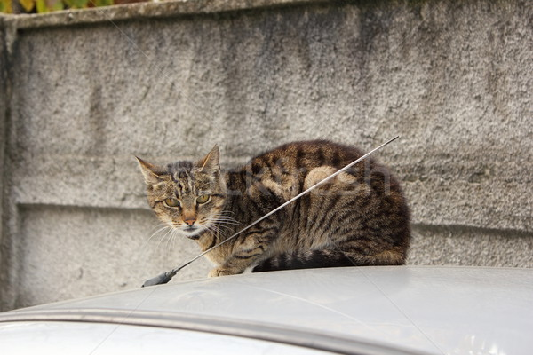domestic cat on top of a car Stock photo © taviphoto