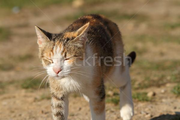 眠い 車 徒歩 庭園 猫 ストックフォト © taviphoto